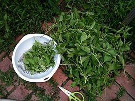 Como a seco Ervas em um desidratador