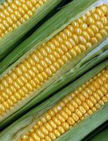 Como Ferva Congelado milho em espiga