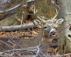 Como compreender Whitetail caça