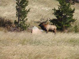 Como Encontrar Sucesso Elk caça em terras públicas em Montana