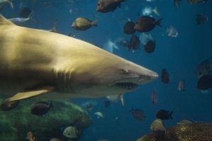 Como escapar ataques de tubarão