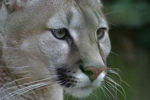 Como a data Puma Facas