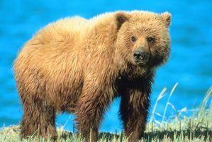 Como sobreviver a um encontro Grizzly ou Black Bear
