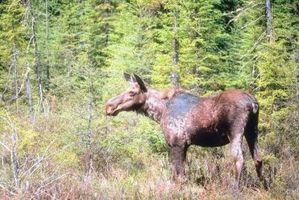 Como se bronzear um Ocultar Moose