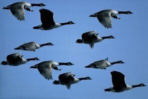 Duração de Migração dos gansos