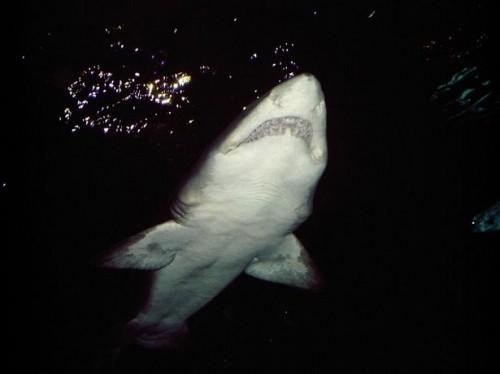 Como sobreviver a um ataque de tubarão