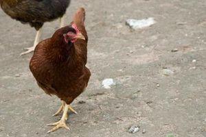 Como se preparar galinhas para comer depois de matá-los