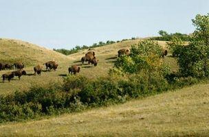 Como encontrar Buffalo caça em Utah
