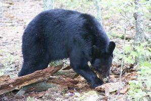 Urso regras de caça em BC, Canadá