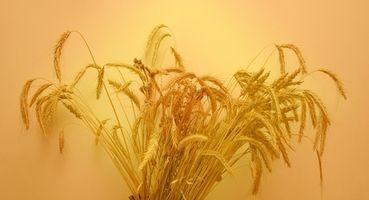 Como a seco vermelho duro de inverno trigo