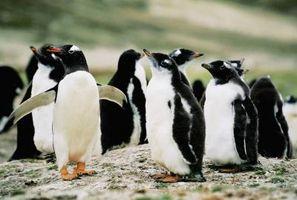 Como fazer Penguins Fora de gelo
