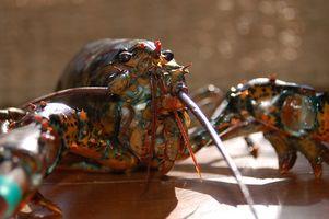 Como a cozinhar uma cauda de lagosta congelada Bahamas