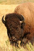 Como encontrar Buffalo caça na Califórnia
