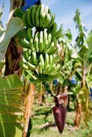 Banana Processo de Produção