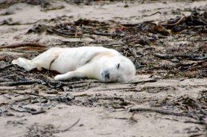 Fatos interessantes sobre Harp Seals