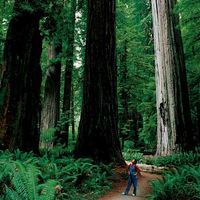 Como visitar os Redwoods costeiras no norte da Califórnia