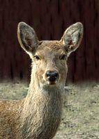Leis sobre cervos chamarizes em Alabama