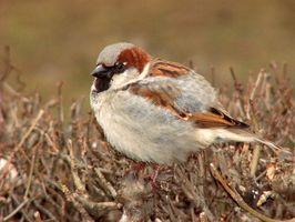 Como fio um Armadilha malha Sparrow