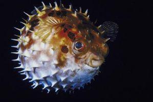Como fazer um cara Blowfish