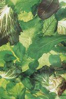 Que tipo de vegetal é Orach?