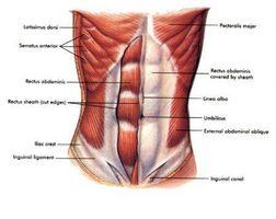 Como músculos abdominais funcionam?