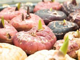 É seguro comer batatas que tenham Sprouts?