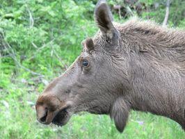 Moose Época de caça em Ontário