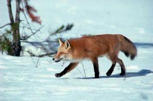 Que tipo de armadilhas para um Fox & um coiote?