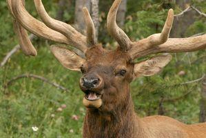 Elk caça no Alasca