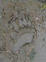 Como identificar Animais Silvestres por suas trilhas e Feces