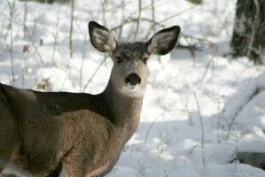 Texas Programas de Gestão dos cervos de Whitetail
