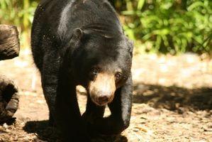 Black Bear Hunting em West Virginia