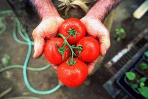 Como você assar um tomate Sem Broiler?