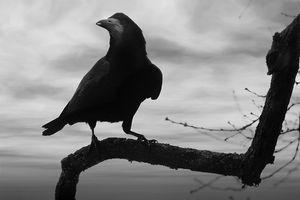 Informações sobre caça Crows