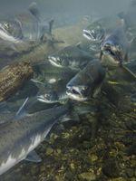 O Bait usar para Salmon Fishing