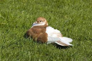Como fazer uma armadilha eficaz e simples pássaro