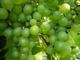 Como escolher uvas para fazer o seu próprio vinho