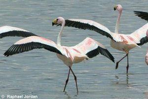 Flamingo chileno Fatos