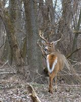 Como Hunt Cuivre Island para Deer in Missouri