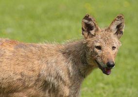 Regulamentos para a caça Predators em Texas