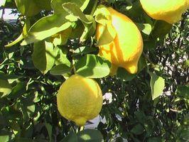Quais são Frutas baixo pendurado?