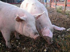 Como remover os pêlos de porcos