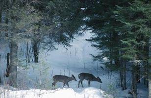 Pode mastigar atrair cervos?