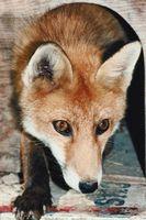 Como interceptar um Fox em uma armadilha Leg