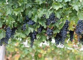 Uvas para vinificação Início