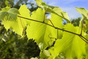 Como curar folhas da uva