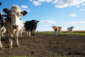 Quais são os perigos do consumo do leite cru?