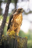 Como interceptar um falcão Vermelho-atado de Falcoaria
