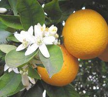 Quais são os benefícios de Citrus aurantium?