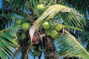Como faço para obter leite de coco para solidificar na Coconut?